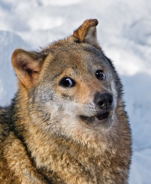 Wolf-Funny-Face-Expression-Image.jpg